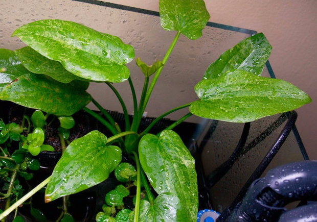Эхинодорус сердцелистный Тропика Марбл Квин