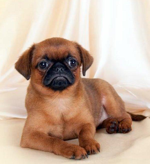 Как выбрать щенка пти брабансона