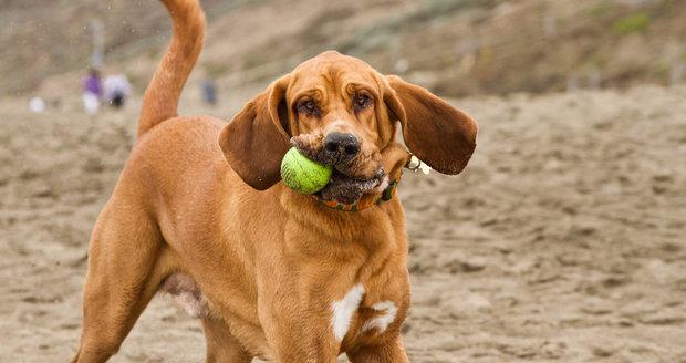 Порода собак бладхаунд: фото, видео, описание породы и характер