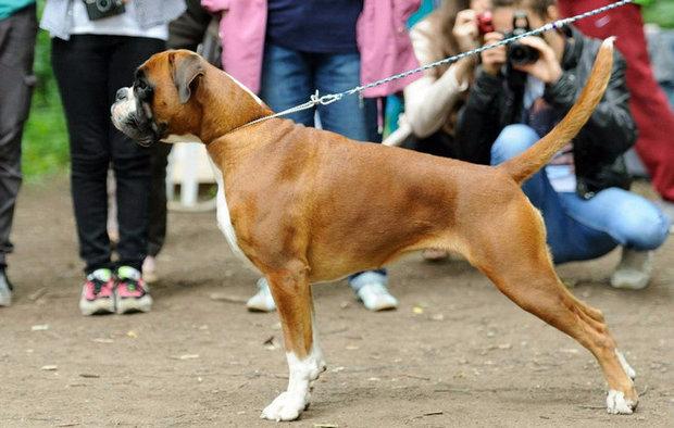 Немецкий боксер собака. Описание, особенности, уход и цена немецкого боксера