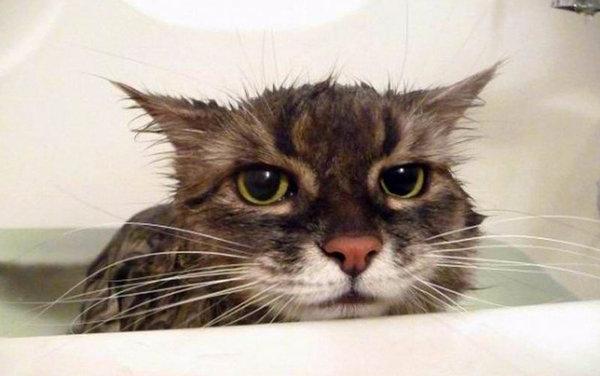 Как искупать кошку если она боится воды