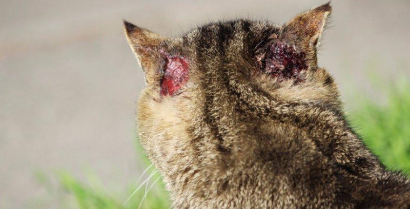 подкожной клещ у кошки