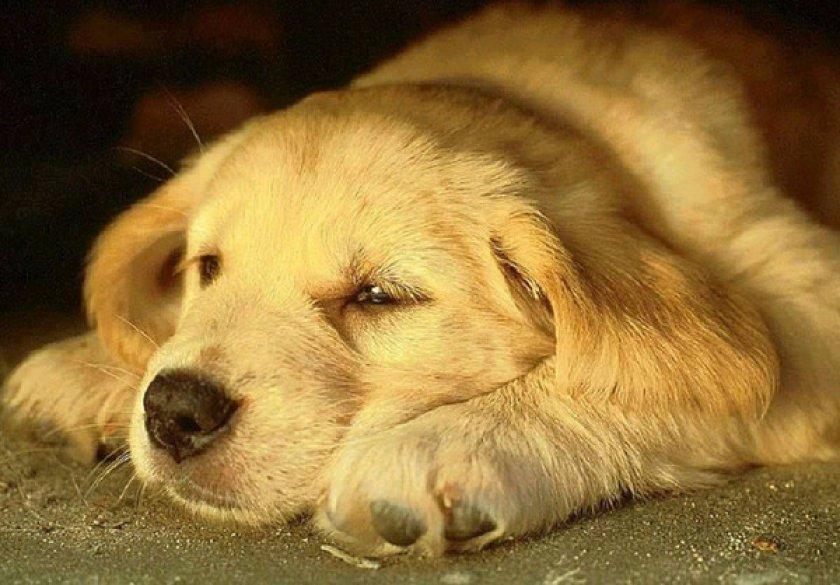 чумка у собак