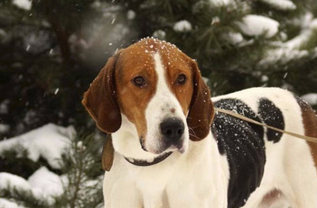 Собака русская пегая гончая: фото, видео, описание породы и характер