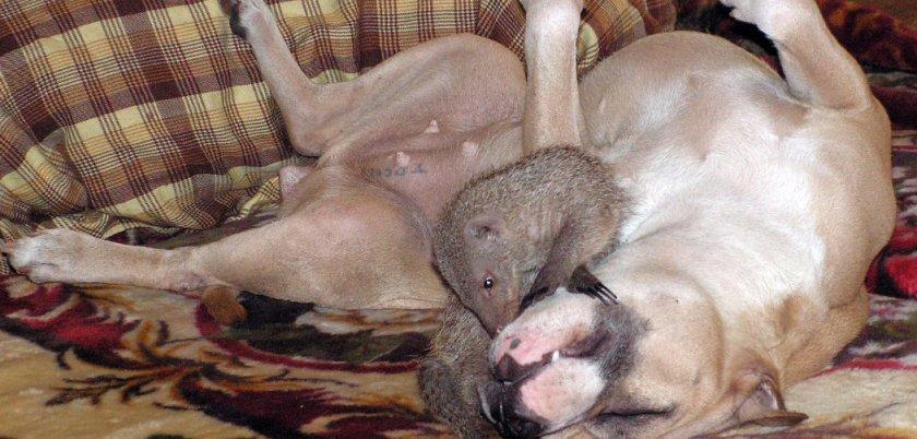 Мангуст и собака