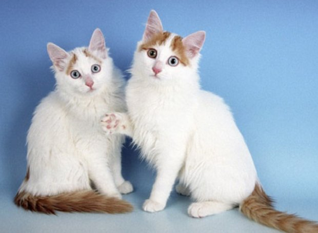 порода кошек турецкий ван фото цена