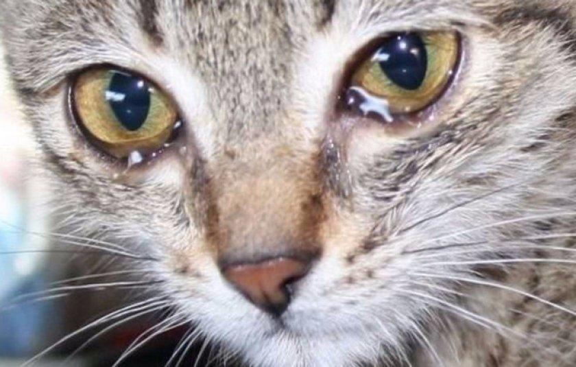 схемы лечения коронавируса кошек