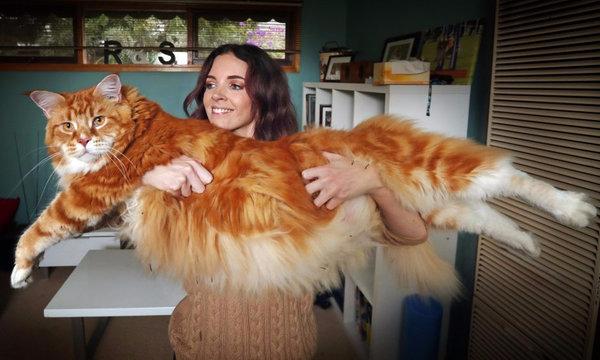 Самая большая кошка в мире: 10 наиболее крупных диких животных и представителей домашних пород