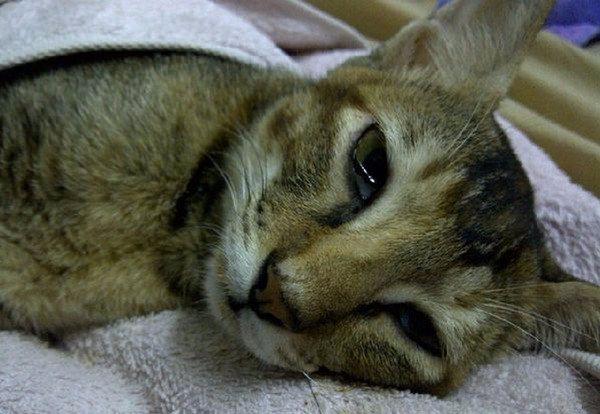 Токсоплазмоз у кошек (котов): симптомы, признаки, диагностика, лечение
