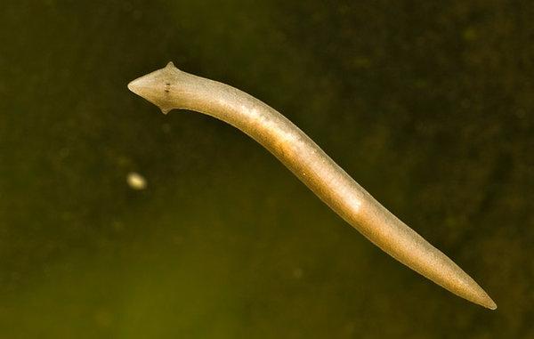 Планария - как избавиться от паразита