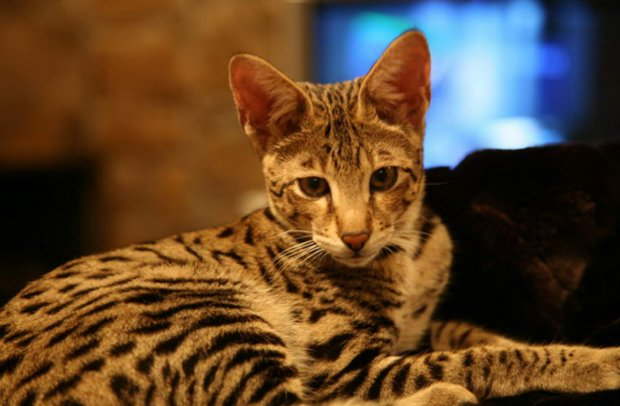 Особенности ухода и содержания кошек породы ашера в домашних условиях