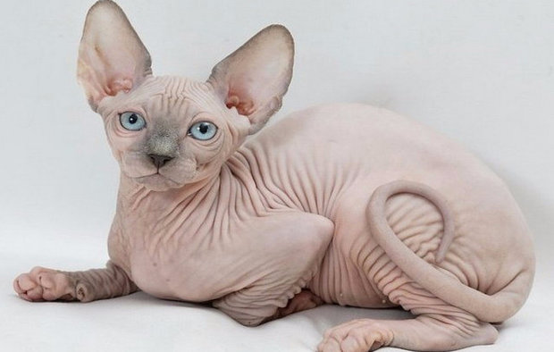 Продолжительность жизни котов породы сфинкс