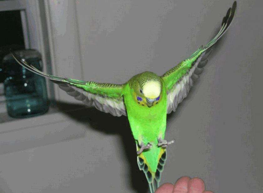 Волнистый попугай летает
