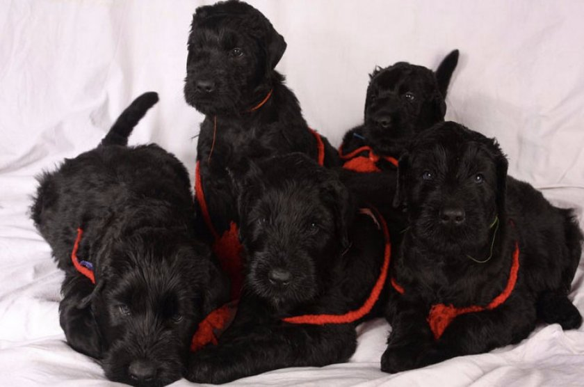 Щенки собаки Сталина