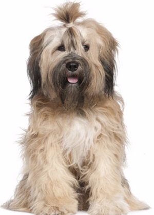 Порода собак тибетский терьер или цанг апсо — компаньоны тибетских монахов