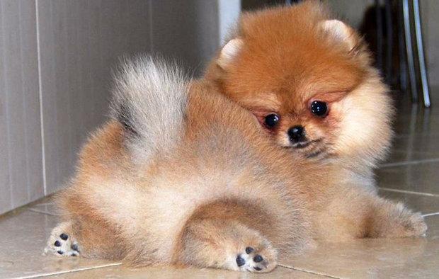 маленькая собачка порода шпиц