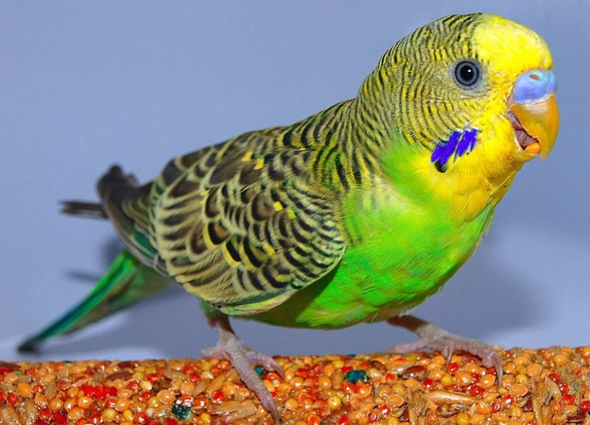Волнистый попугай