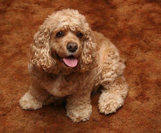 Порода собак американский кокер-спаниель: фото, видео, описание породы и характер