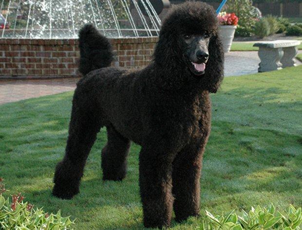 Порода собак королевский пудель: фото, видео, описание породы и характер