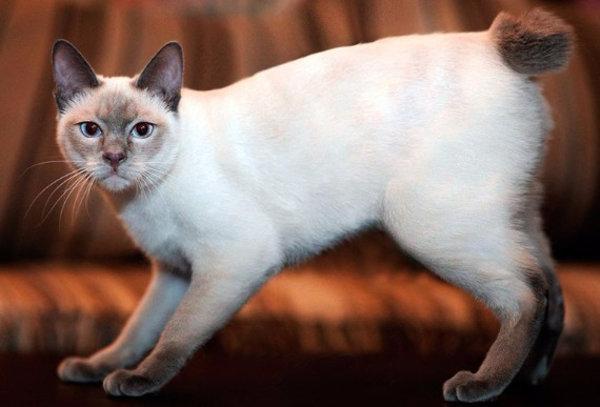 Американский камышовый кот: описание породы и особенности содержания в домашних условиях