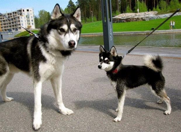 порода собак как хаски только маленькая