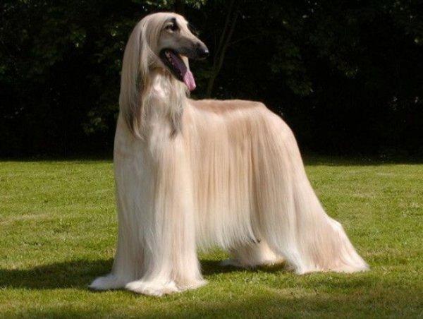 Подробное описание и характеристика породы русская псовая борзая