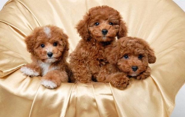 порода собак карликовый пудель фото