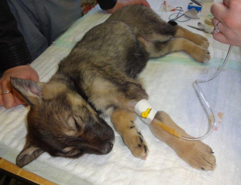 коронавирусный гастроэнтерит у собак