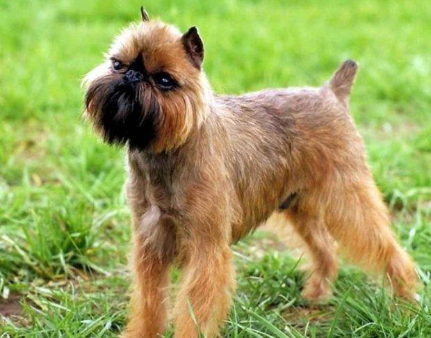 порода собак бельгийский
