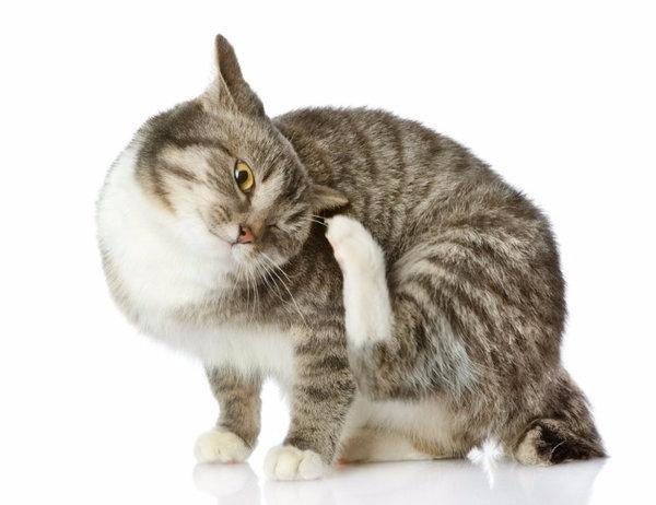Может ли кошка умереть от власоедов