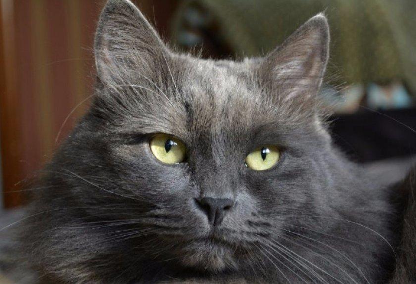 Порода кошек нибелунг