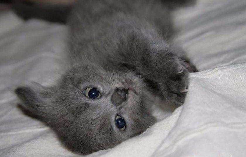 Котенок нибелунга