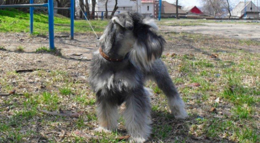 Собака цвергшнауцер