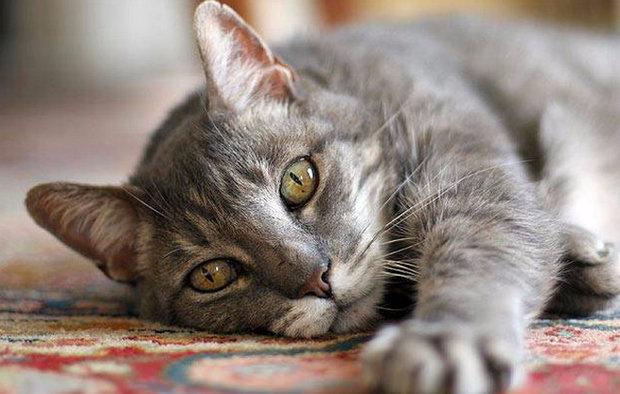 savannah bengal cat mix for sale