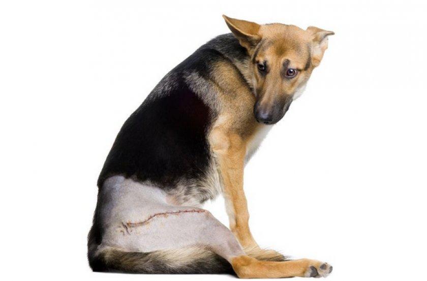 Собака после опреации
