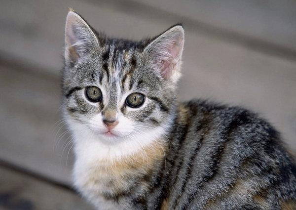 Болеют ли кошки пироплазмозом