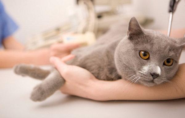 Отит у кошки: методы лечения в домашних условиях