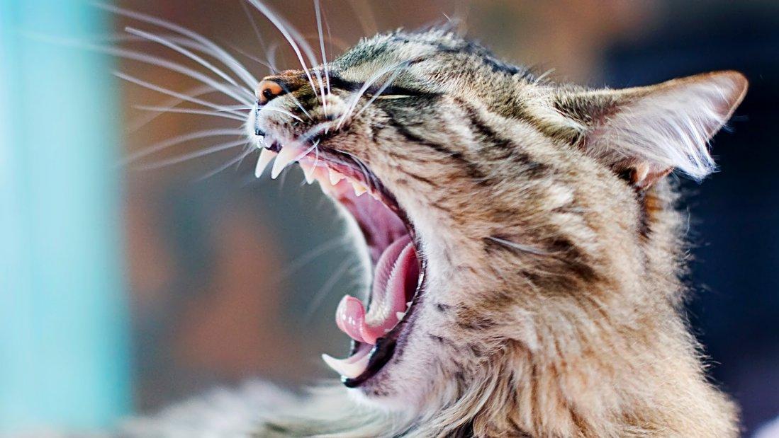 Болезни зубов кошек