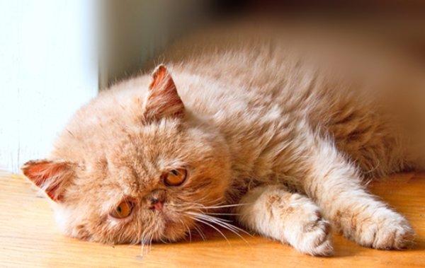 Эпилепсия у кошек: формы, симптомы, лечение
