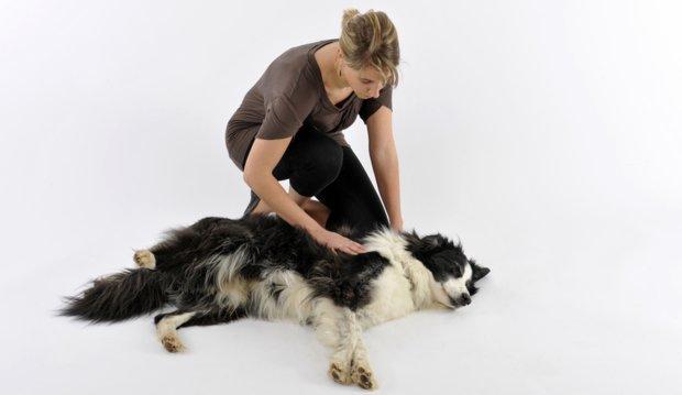 Image result for border collie собака прикоснуться к животу