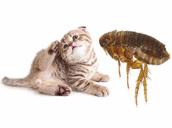 Блохи у кошек и котят: причины, признаки, лечение