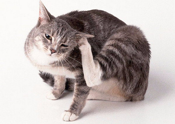 Перхоть у кошки причины возникновения и методы борьбы с ней