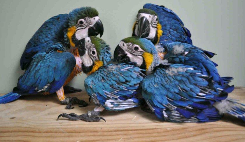 Птенцы ара