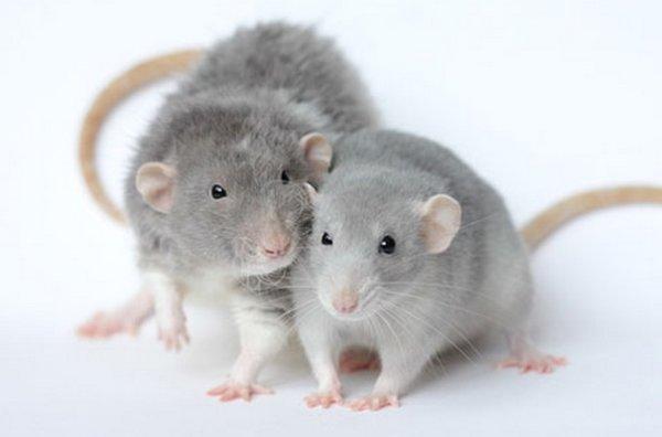 Срок жизни декоративных крыс