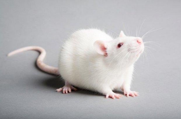 Белая декоративная крыса