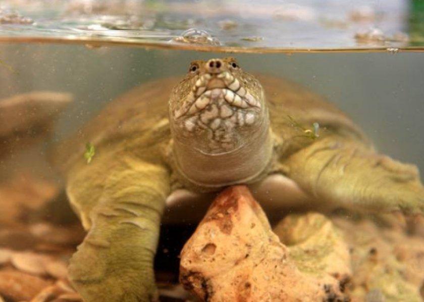 Черепаха трионикс