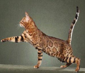 саванна кошка размеры и вес
