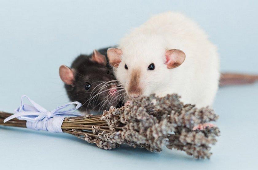 Декоративная крыса