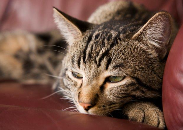 Сахарный диабет у кошек: причины, симптомы и лечение, прогноз и ...