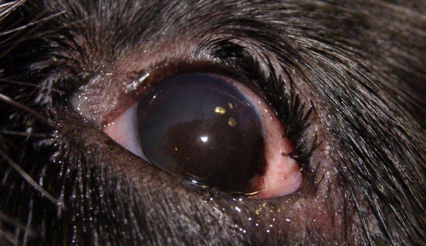 Кератит у собаки